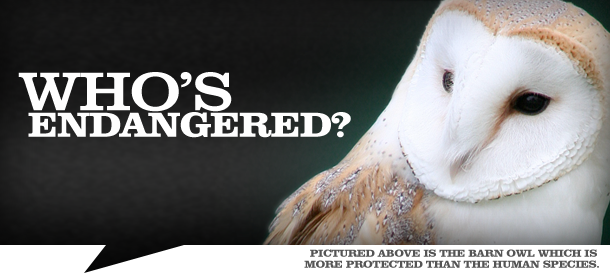 The Barn Owl - more protected than the human species